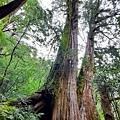 巨木群56.jpg