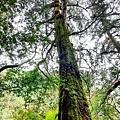巨木群60.jpg