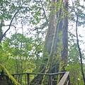 巨木群68.jpg