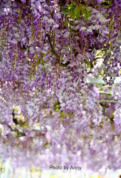 紫藤8.jpg