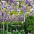 紫藤23.jpg