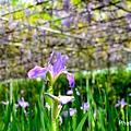紫藤30.jpg