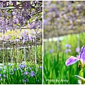 紫藤27.jpg