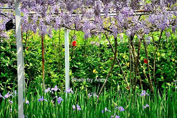 紫藤31.jpg