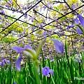 紫藤26.jpg