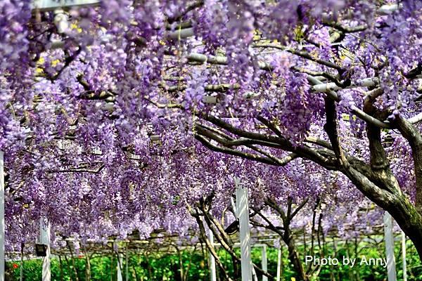 紫藤36.jpg