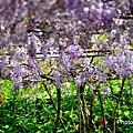 紫藤38.jpg