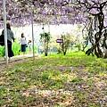 紫藤34.jpg