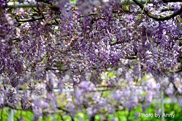 紫藤37.jpg
