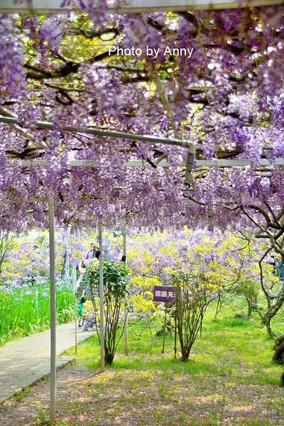 紫藤33.jpg