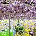 紫藤32.jpg