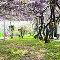 紫藤35.jpg