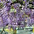 紫藤39.jpg
