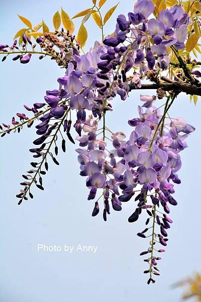 紫藤40.jpg