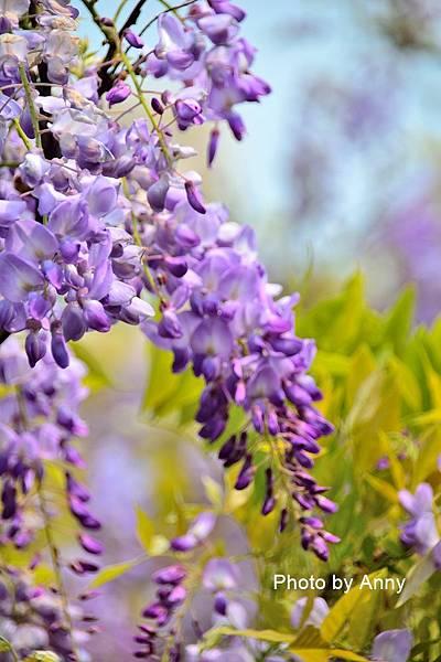 紫藤42.jpg
