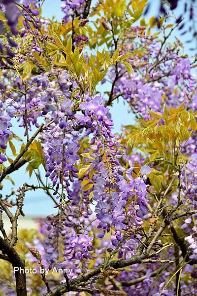 紫藤41.jpg