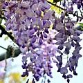 紫藤43.jpg