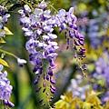 紫藤44.jpg