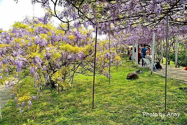 紫藤51.jpg