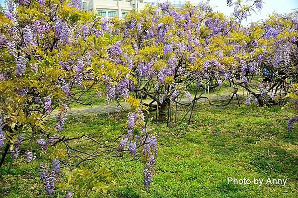 紫藤47.jpg