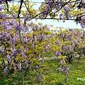 紫藤46.jpg