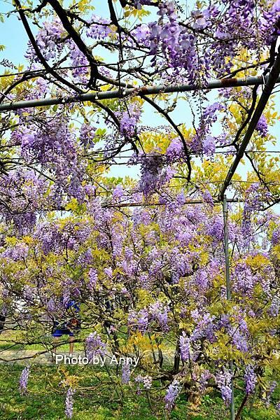 紫藤48.jpg