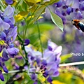 紫藤53.jpg