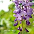 紫藤49.jpg
