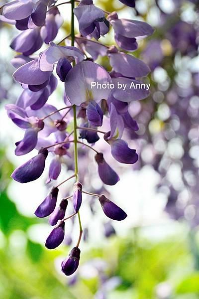 紫藤50.jpg