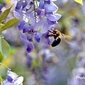 紫藤54.jpg