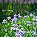 紫藤57.jpg