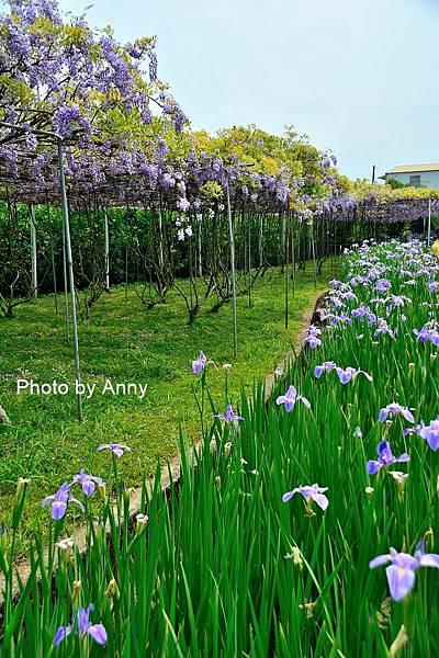 紫藤55.jpg