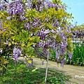 紫藤59.jpg