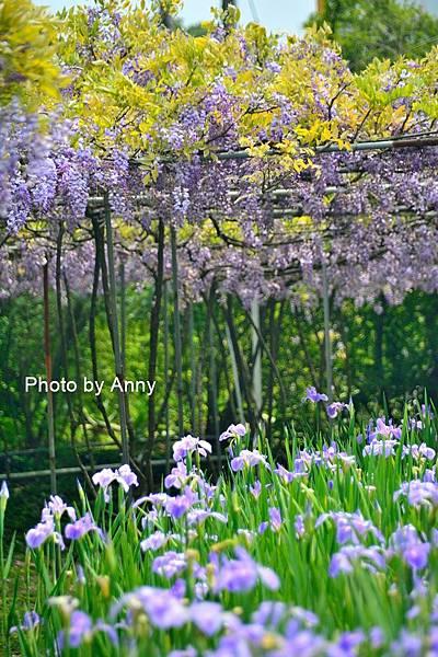 紫藤58.jpg