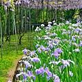 紫藤56.jpg