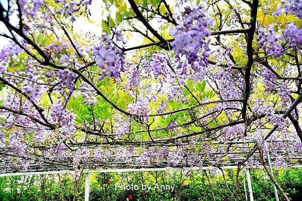 紫藤64.jpg