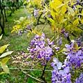 紫藤63.jpg