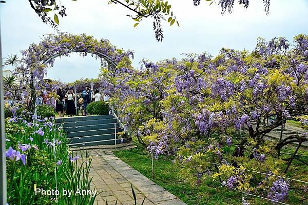 紫藤65.jpg