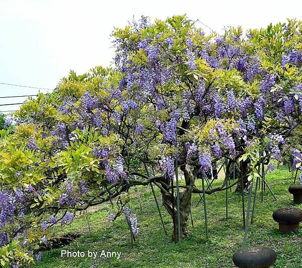 紫藤66.jpg