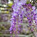 紫藤79.jpg