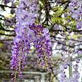 紫藤77.jpg