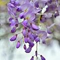 紫藤78.jpg