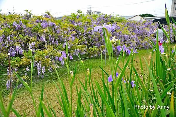 紫藤80.jpg