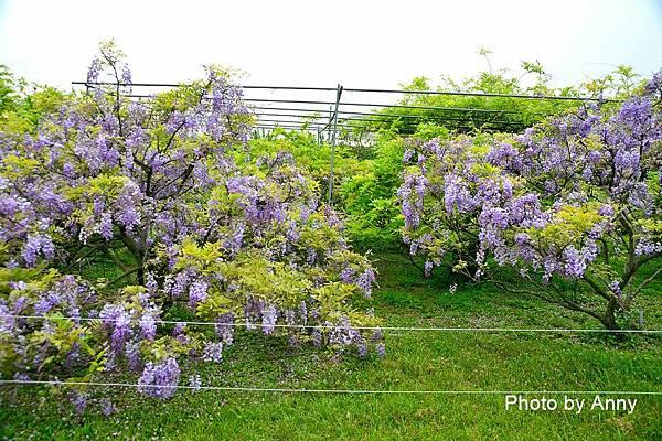 紫藤88.jpg