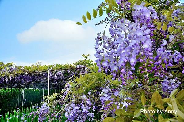 紫藤90.jpg