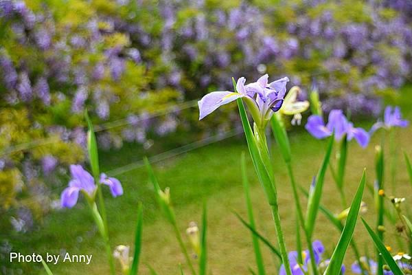 紫藤81.jpg