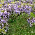 紫藤86.jpg