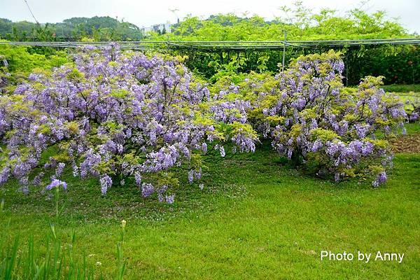 紫藤89.jpg