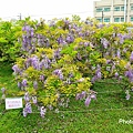 紫藤85.jpg