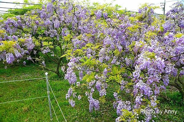 紫藤87.jpg